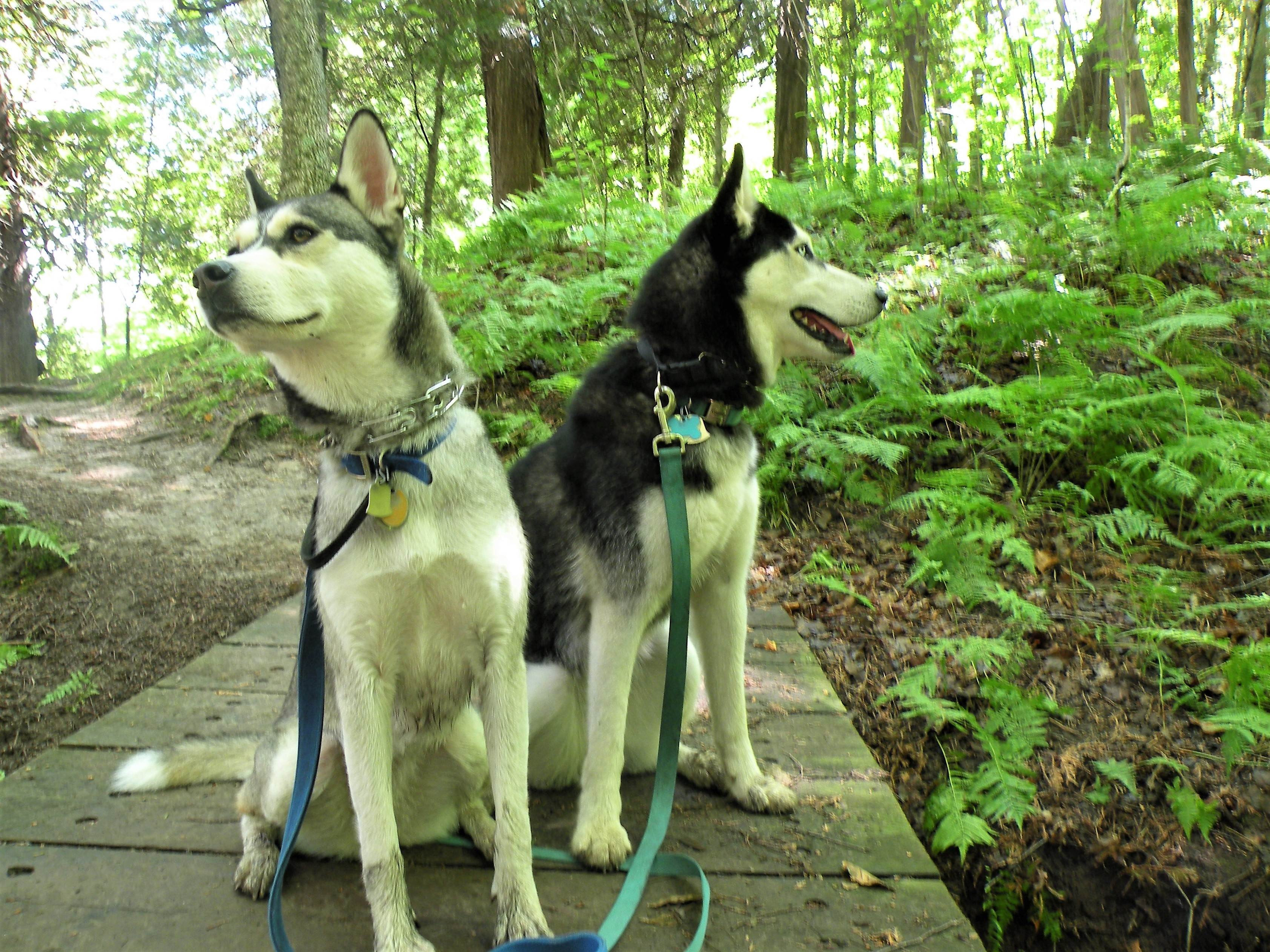 Hiking with Huskies