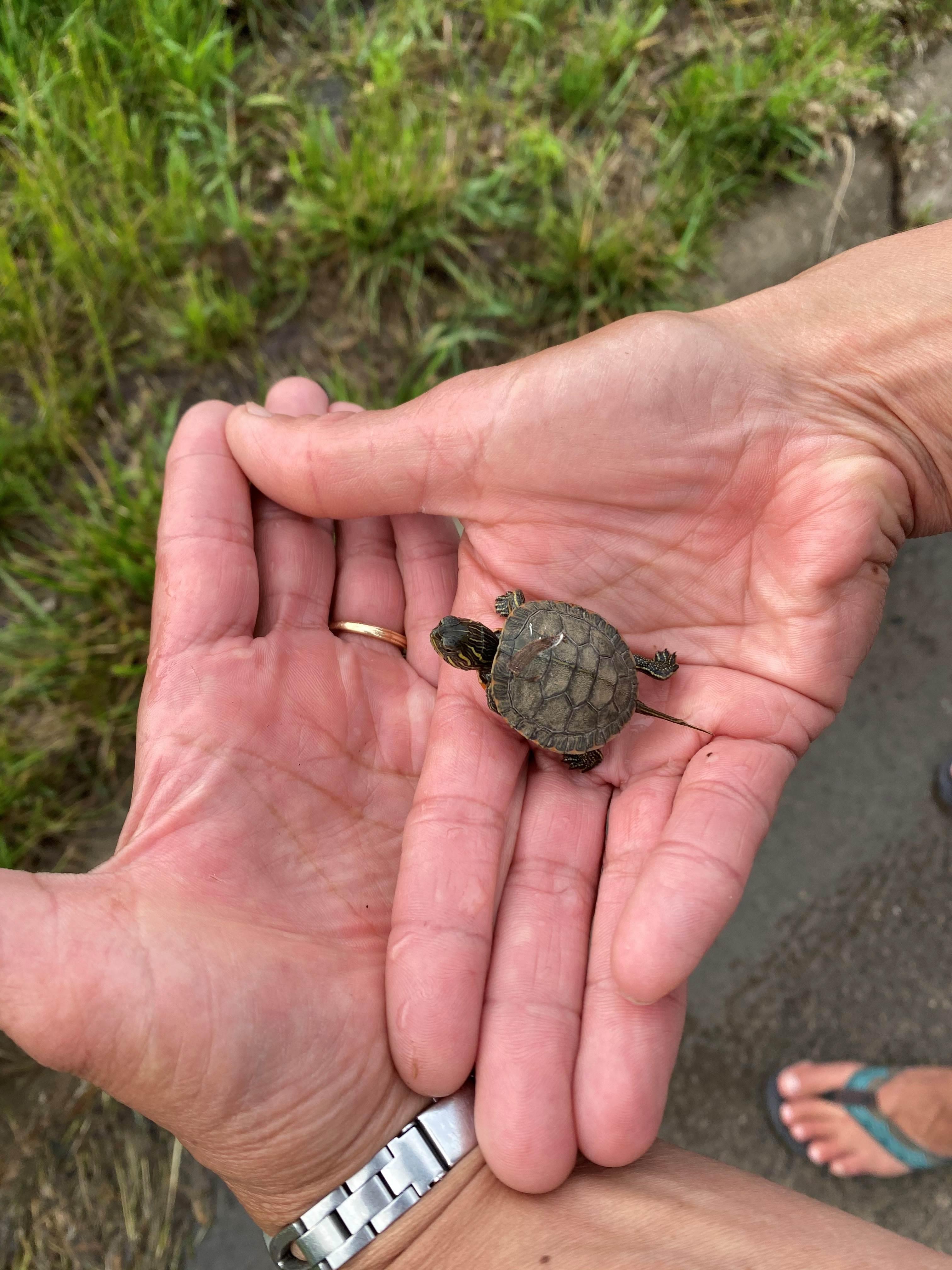 Gray's Lake Turtle